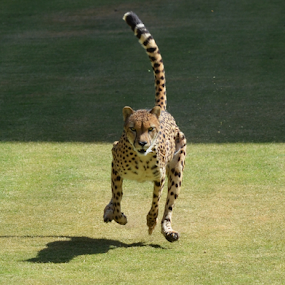 Cheetah Running by Peter Murnieks - Animals Lions, Tigers & Big Cats ( spots, dancing, chasing, 70 mph, running, stride, tail, field, cheetah, open, food, hunting, sprint, day, coat, black spots )