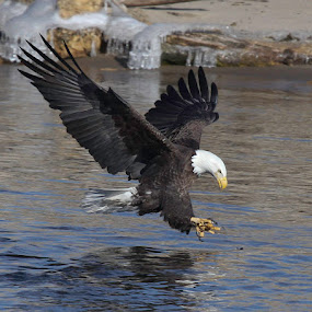 The Hunter by Debbie Salvesen - Animals Birds ( bird, hunter, eagle, nature, strength, capture, hunt, wildlife, prey, mammal, american bald eagle, conqueror, quad cities iowa,  )
