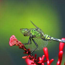 A Green Dragonfly by Anthony Goldman - Animals Insects & Spiders ( wild, nature, tampa, dragonfly, insect )