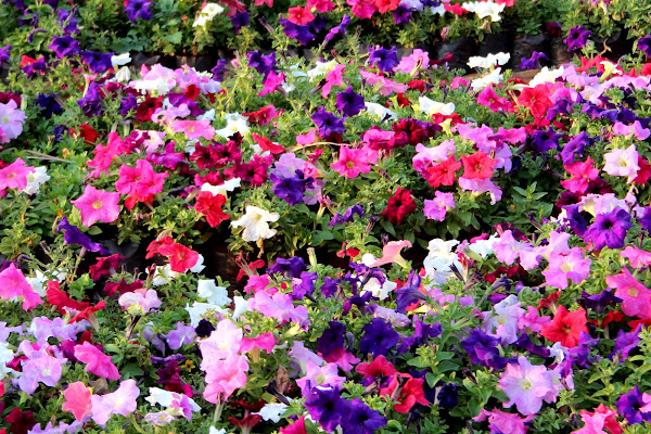 Seasonal flowers project noah for Flowers that are in season