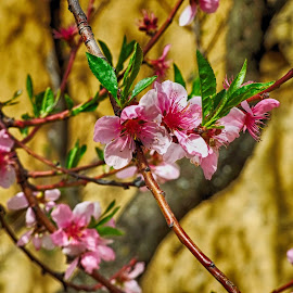 Apricot tree in bloom by Maja  Marjanovic - Nature Up Close Trees & Bushes ( nature, trees, apricot, spring, flower,  )