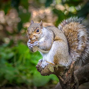 Squirrel Portrait  by Mark Shoesmith - Animals Other Mammals ( nature, d7000, nikon, squirrel, mammal,  )