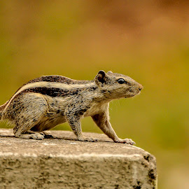 squirrel by Soumitra Goswami - Animals Other ( wild, goswami, soumitra, squirrel, animal )