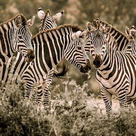 The Herd by Georgia Darlow - Animals Other ( maasai mara, animals, nature, herd, kenya, zebra )