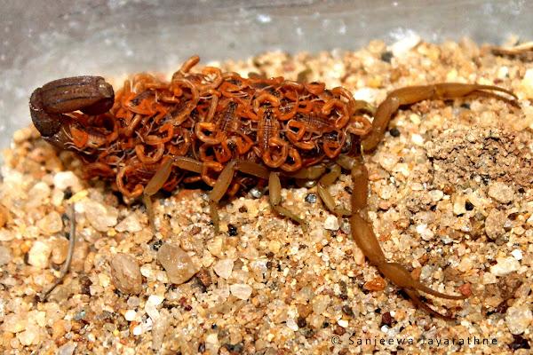 Scorpion Running On Ground Desert Asian Black Scorpion ...