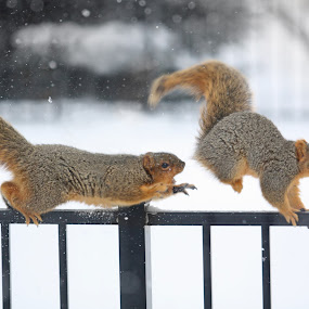 Get your Claws off my Nuts by Robert Daveant - Animals Other Mammals ( winter, snow, chase, mammal, squirrel, animal,  )