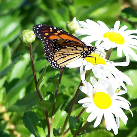 Sweet Nectar by Clara Scarano Scubla - Novices Only Wildlife ( butterfly, daisies, flowers,  )