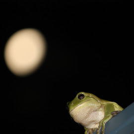 by Luke Booth - Animals Amphibians ( green tree frog )