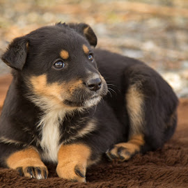 Puppy by Sharon Snider - Animals - Dogs Puppies