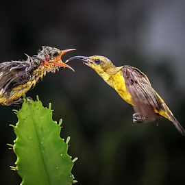 Colibri -  feed her child by Roy Husada - Animals Birds