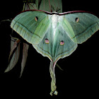 Indian Luna Moth
