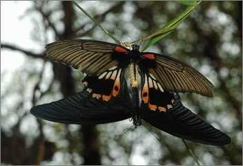 Schmetterlinge bei der Paarung - Sexualität hält die Welt am Laufen