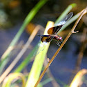 Dragonfly or Damselfly