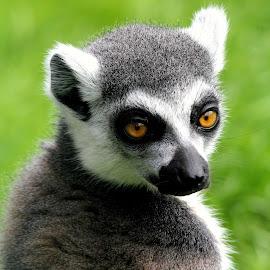 by Ralph Harvey - Animals Other Mammals ( wildlife, lemur, ralph harvey, marwell zoo, animal )