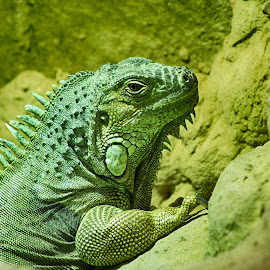AM 10 by Kelly Murdoch - Animals Reptiles ( england, uk, scales, green, iguana, reptile, animal, ztam )