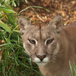 Female Puma by Garry Chisholm - Animals Lions, Tigers & Big Cats ( garry chisholm, predator, lion, carnivore, mountain, cougar, nature, wildlife, puma )