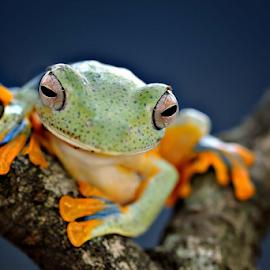 by Arief Setiawan - Animals Amphibians
