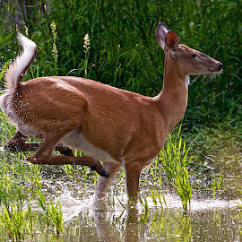 Deer running through pond by Dan Ferrin - Animals Other Mammals ( nature, white-tail, wildlife, pond, animal, deer )