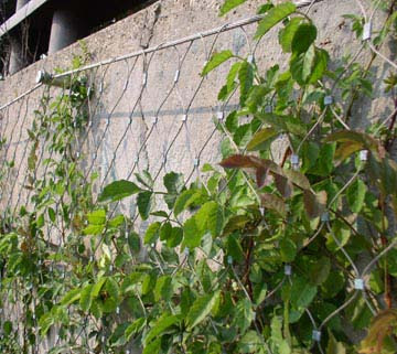 Fachada vegetal sistemas constructivos urbanarbolismo for Plantas trepadoras para muros