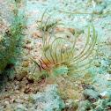Spotfin Lionfish (juvenile)