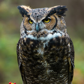 Great Horned Owl by Michael Holser - Animals Birds ( bird, michigan, nature center, howell, owl, great horned owl )