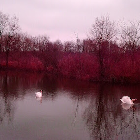 Red Lake by Nat Bolfan-Stosic - Nature Up Close Water ( love, swans, red, couple, lake )