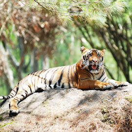 Tiger by Rama Dhona - Animals Lions, Tigers & Big Cats