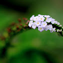 Indian heliotrope