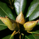 Rhododendron species
