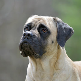 Majestic Beast! by Tara Chumsae - Animals - Dogs Portraits ( animals, dogs, majestic, beautiful, mastiffs, magnificent, strong, english mastiff, pet, pets, mastiff, dog, animal, #GARYFONGPETS, #SHOWUSYOURPETS )