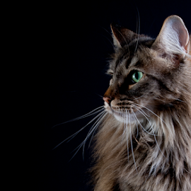 norwegian forest cat by 'Monique Smit - Animals - Cats Portraits