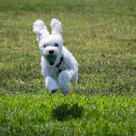 Ball Dog/bunnie by Tim Davies - Animals - Dogs Running ( fluffy, jumping, joyous, retrieve, running,  )