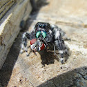Bold Jumping Spider eating fly