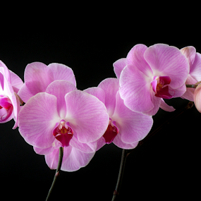 Pink White Orchid by Anita  Christine - Flowers Flower Gardens ( plant, black bg, isolated, magenta, orchid, nature, pink, phalaenopsis, flower, orchidee, phalaenopsis orchid, Flowers, Flower Arrangements )