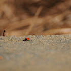 Convergent Lady Bug Beetle