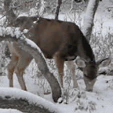 Winter Deer Live Wallpaper