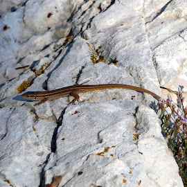 Lizard on stone  by Mirjam Nedić - Animals Reptiles ( losinj, lizard, croatia, summer, stone, beach, fast, reptile, island )
