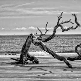 Driftwood by David Humphries - Black & White Landscapes ( tree, black and white, deadwood, jeckyll island )