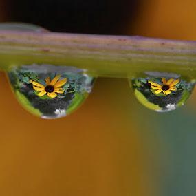 water drop reflection by Lynda Blair - Flowers Single Flower ( water, rudbeckia, reflection, macro, water drops, flowers )