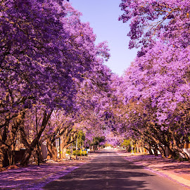 by William Louw - City,  Street & Park  Street Scenes ( jacaranda, tree, south african, purple jacaranda )