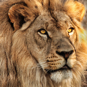 King by Mike Neal - Animals Lions, Tigers & Big Cats ( lion )