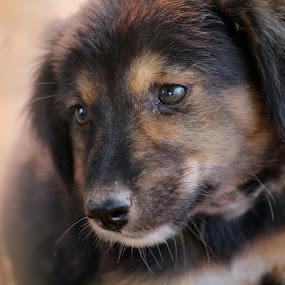 by Ashish Singla - Animals - Dogs Puppies
