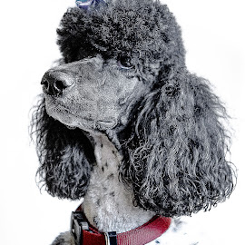 Posed by Ron Meyers - Animals - Dogs Portraits