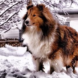 King Ozzie by Trent Eades - Animals - Dogs Portraits ( winter, snow, sheltie, portrait )