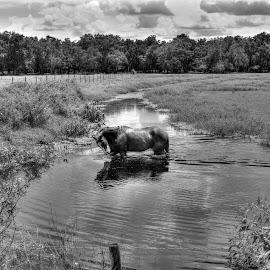 Self Reflection by Mark Ayers-Stebenne - Animals Horses ( water, arcadia, florida, beautiful, horse, reflections,  )