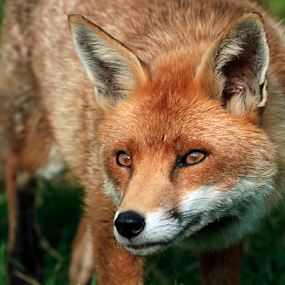 Red fox by Peter Greenhalgh - Animals Other Mammals ( fox, british, vulpes vulpes, wildlife, red fox, v.vulpes )