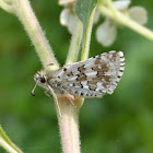 White checkered / Common checkered skipper