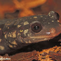 Northern Slimy Salamander
