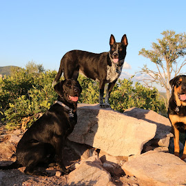 Three Cousins by Marie Dickerson - Animals - Dogs Portraits (  )