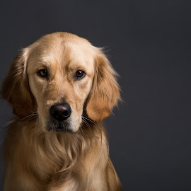 by Gerald Mabee - Animals - Dogs Portraits ( retriever, face, canon 70-200, grey )